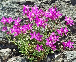 Mountain Pink Zeltnera beyrichii Linda C Southwest Austin 06162005 1249pm
