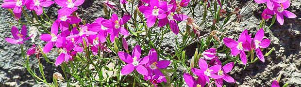 Mountain Pink (Zeltnera beyrichii), Linda C., Southwest Austin, 2005