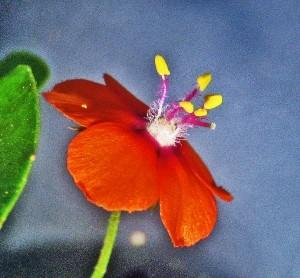 Scarlet Pimpernel Blossom, Fern Bluff Park, Round Rock, Texas