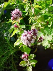 Origanum vulgare Linn.; Photo by Christian Bauer