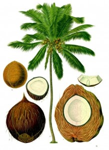 Cocos nucifera: from Franz Eugen Kohler's Köhler's Medizinal-Pflanzen, 1887
