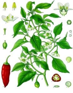Cayenne Pepper (Capsicum annuum). Source: Franz Eugen Köhler, Köhler's Medizinal-Pflanzen