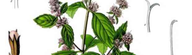 Peppermint (Lamiaceae: Mentha x piperita)