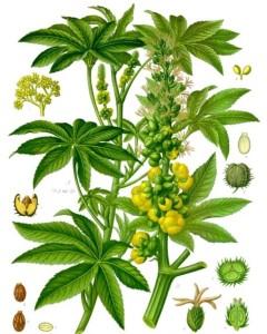 Castor Oil Plant (Ricinus communis). Source: Franz Eugen Köhler, Köhler's Medizinal-Pflanzen