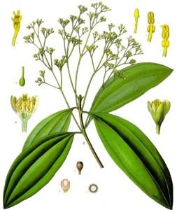 Chinese Cinnamon (Cinnamomum cassia). ource: Franz Eugen Köhler, Köhler's Medizinal-Pflanzen