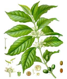 Coffee arabica. Source: Franz Eugen Köhler, Köhler's Medizinal-Pflanzen
