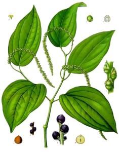 Black Pepper (Piper nigrum L.). Source: Franz Eugen Köhler, Köhler's Medizinal-Pflanzen