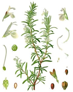 Rosemary (Rosmarinus officinalis). Source: Franz Eugen Köhler, Köhler's Medizinal-Pflanzen