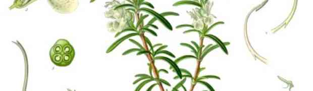 Rosemary (Rosmarinus officinalis L.)