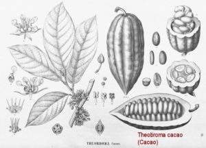 theobroma cacao 1